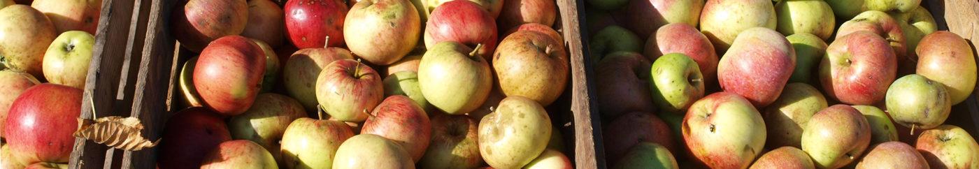Streuobst-Äpfel unserer Hochstämme