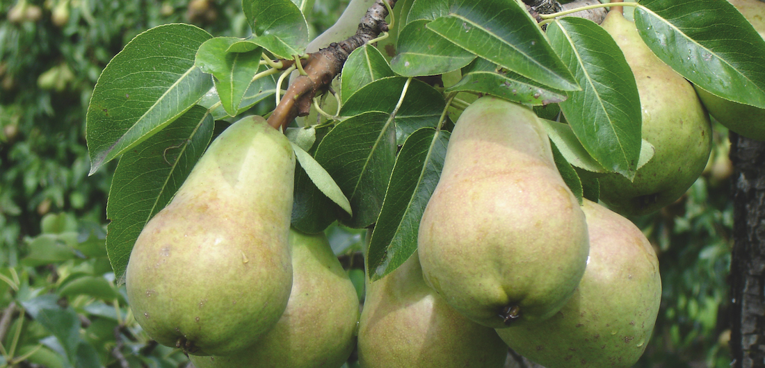 Williams-Birnen reif zur Ernte